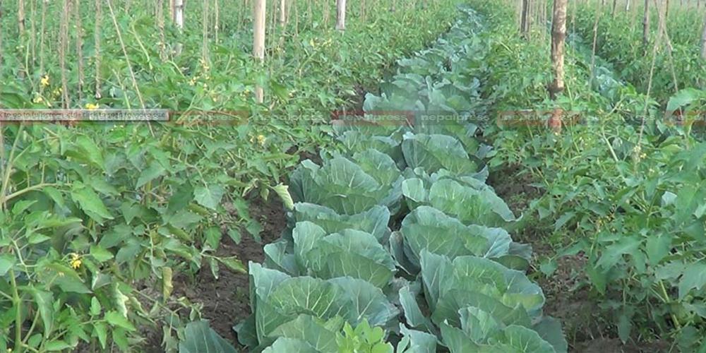 सुर्खेतमा ६ महिनामा एक अर्ब ३६ करोडको तरकारी तथा फलफूल कारोबार, निर्यात तेब्बरले बढ्यो
