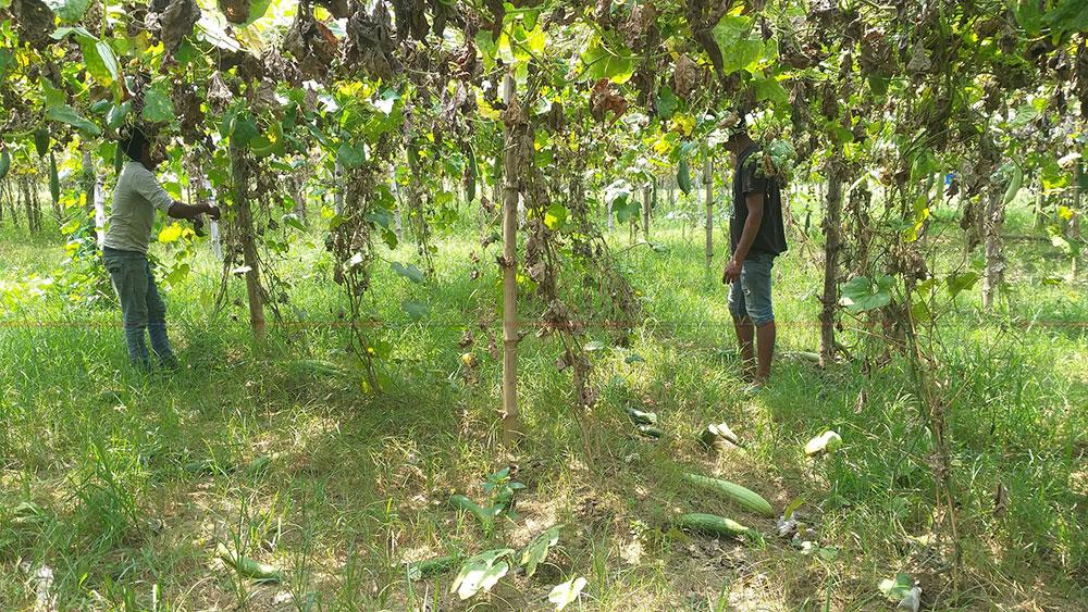किसानका उत्पादन कुहिए खेतबारीमा, भारतीय तरकारी पुगे घरघरमा