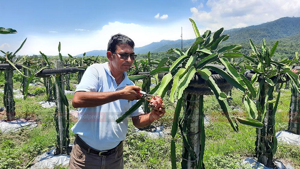 ड्रागन फ्रुटमा देशलाई आत्मनिर्भर बनाउने अभियानमा चितवन–मकवानपुरका किसान (फोटो/भिडियो)