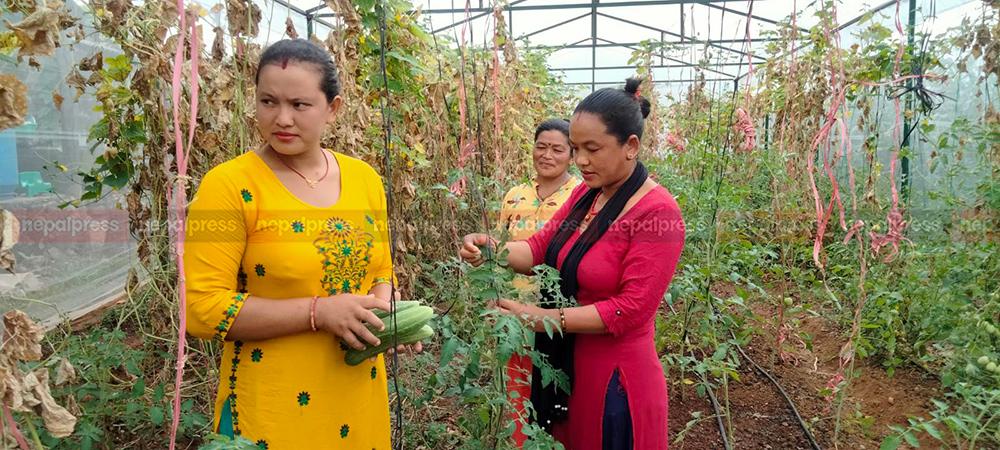 रक्सी पार्न छाडेर तरकारी खेतीमा रमाउँदै गुम्बाका महिला: आम्दानी दोब्बर, सम्मान उत्तिकै