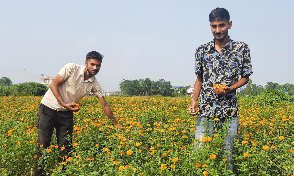 चितवनका बगैंचामा ढकमक्क फूलः पुष्प व्यवसायी उत्साही, ८० रूपैयाँमै सयपत्रीको माला