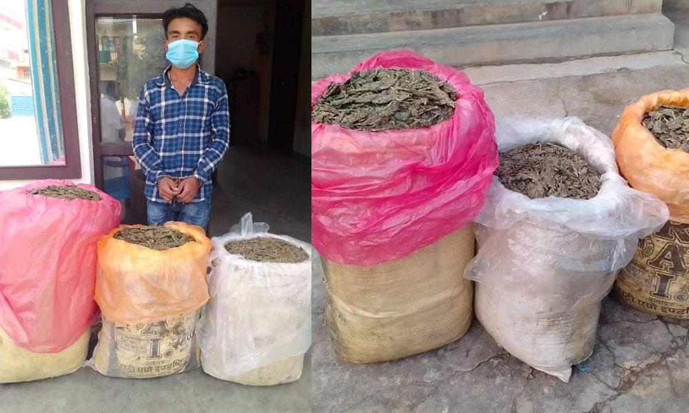 उदयपुरमा ५३ किलो गाँजासहित एक जना पक्राउ